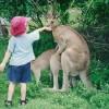 Il bambino impiccione ed i canguri
