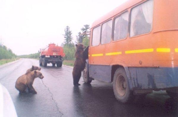 Dalla Russia: orso