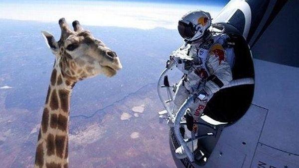 Parodia Baumgartner giraffa