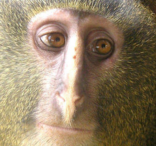 Lesula, la scimma dal volto umano 1