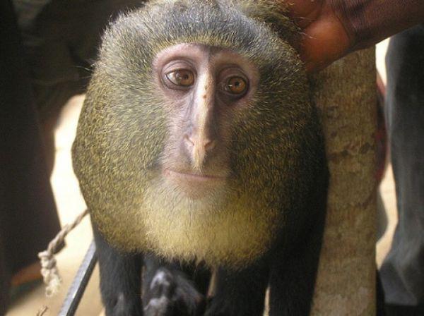 Lesula, la scimmia dal volto umano 2