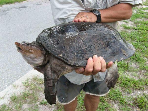 Tartaruga che fa pipi dalla bocca 2