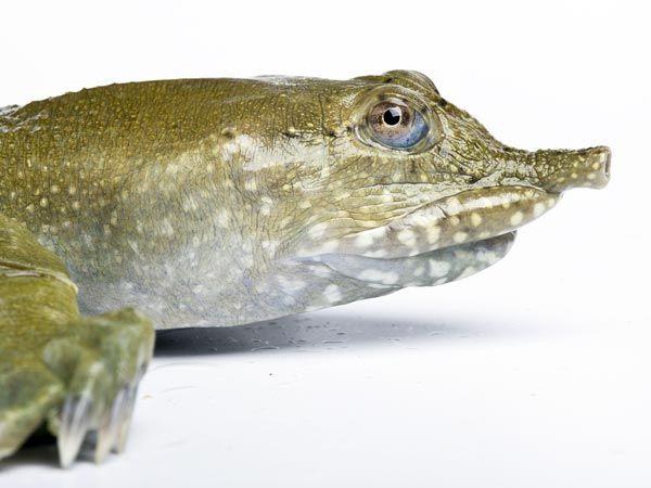 Tartaruga che fa pipi dalla bocca 1