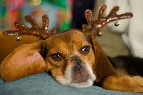 Cane con corna da renna annoiato