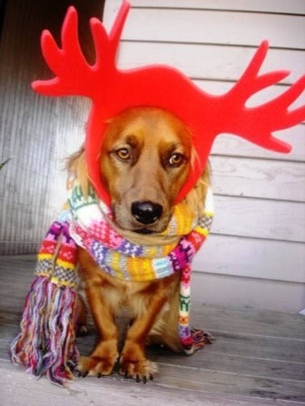 Cane vestito da renna con sciarpa