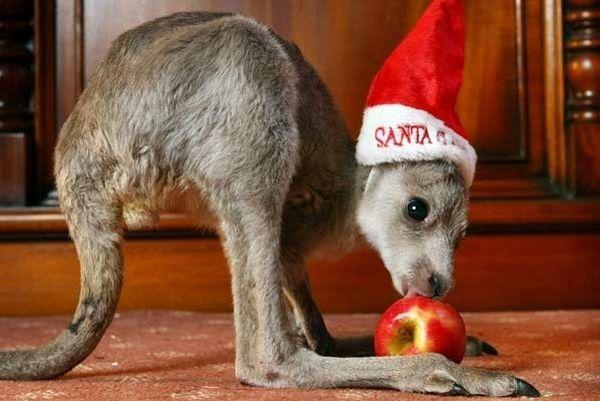 Canguro con mela di Natale