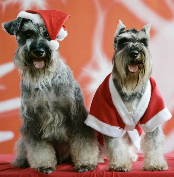 Cani natalizi in coppia