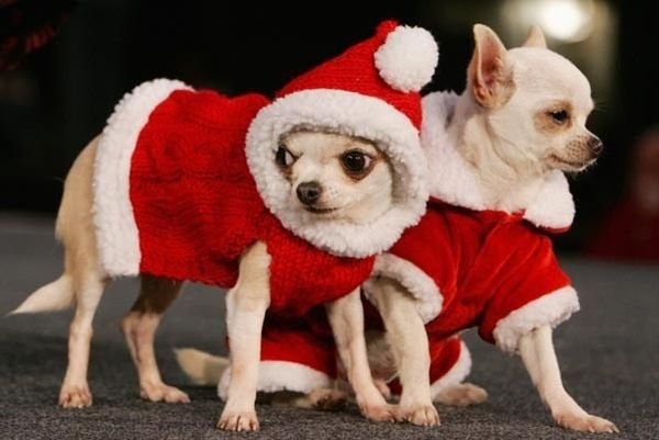 Chihuahua natalizi