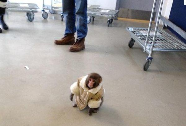 Scimmietta col cappotto da Ikea 1
