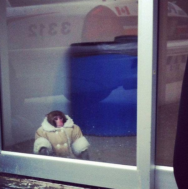 Scimmietta col cappotto da Ikea 2