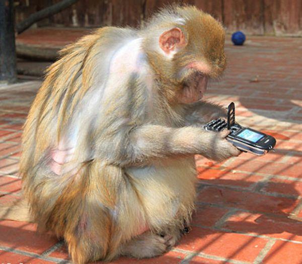 Scimmia con cellulare
