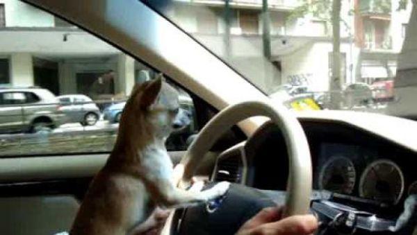 chihuahua ruba auto