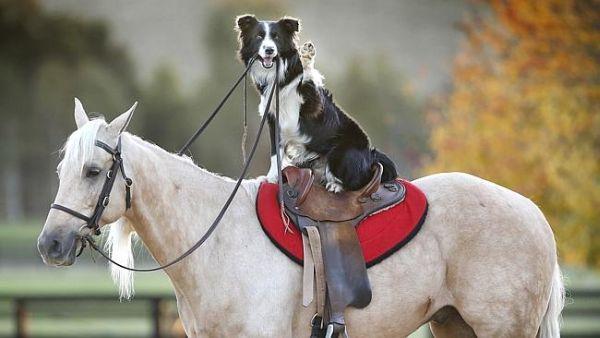 Border Collie addestratore di cavalli 1