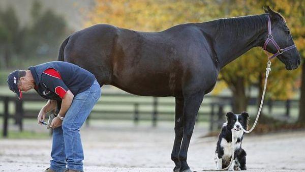 Border Collie addestratore di cavalli 2