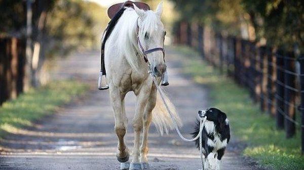 Border Collie addestratore di cavalli 3