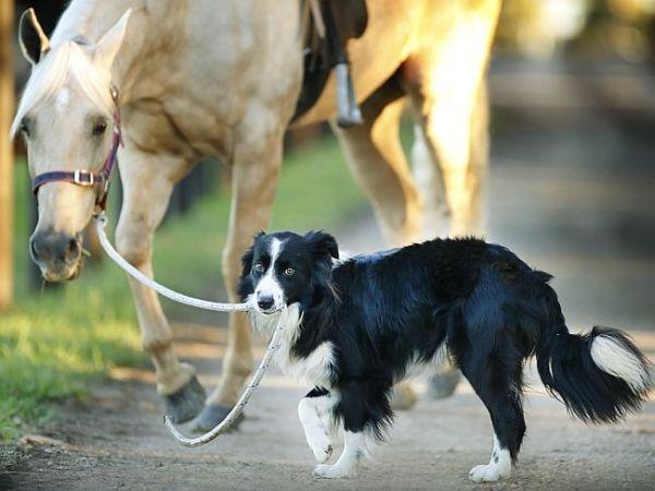 Border Collie addestratore di cavalli 4