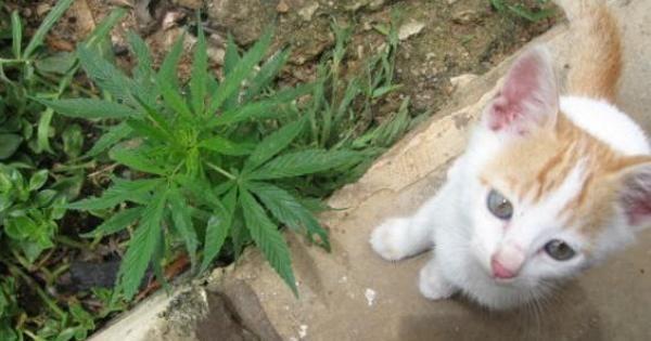 Gatto con marijuana