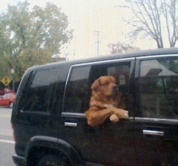 cane affacciato al finestrino
