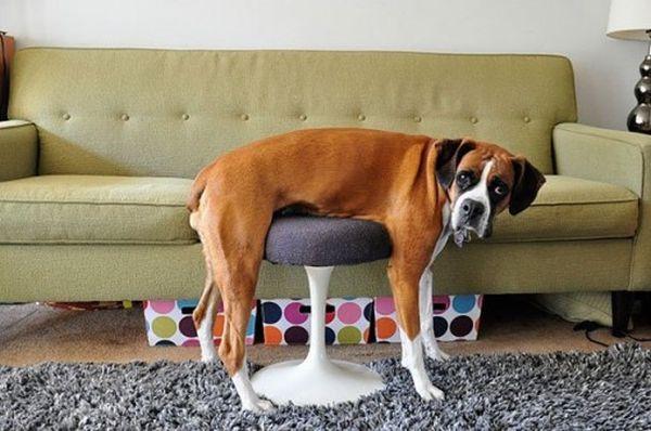 cane su uno sgabello