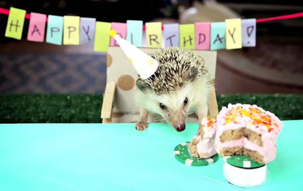 Criceto che mangia la mini torta