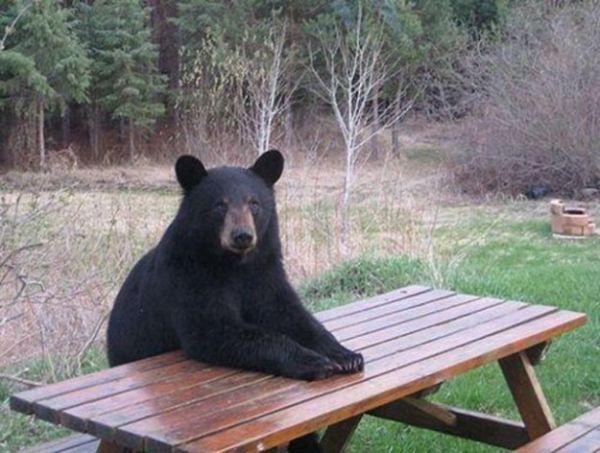 orso-pronto per il pic-nic