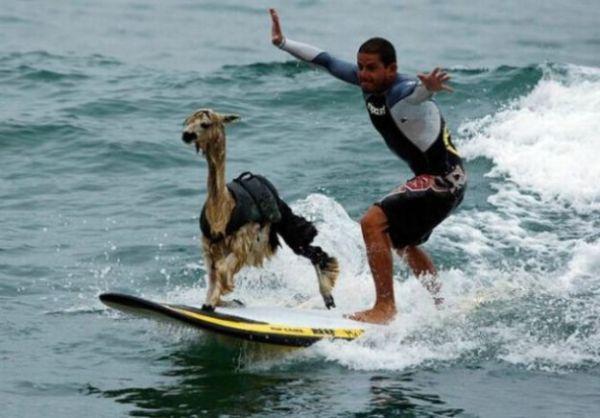 surfing-dog