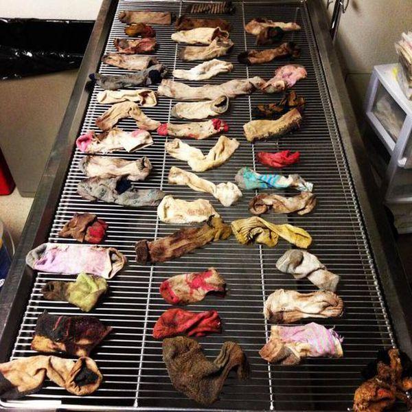 Cane mangia 43 calzini