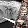 43 calzini nello stomaco di un cane: radiografia