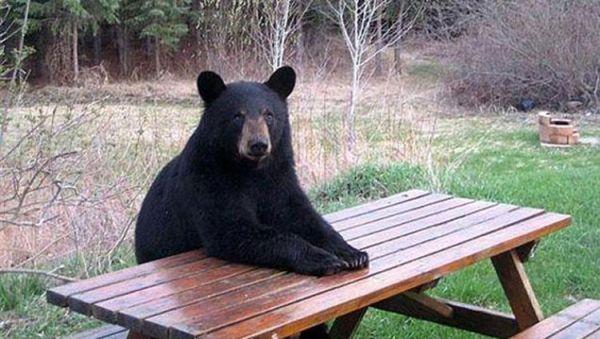 orso a tavola