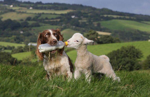 cane baby-sitter di agnelli