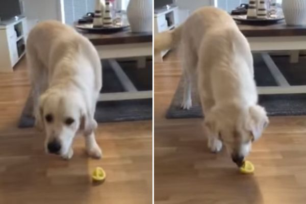golden retriever assaggia un limone