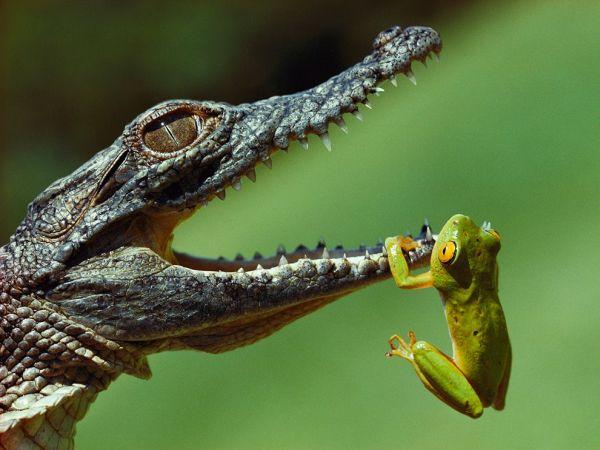 rana appesa alle fauci di un cooccodrillo