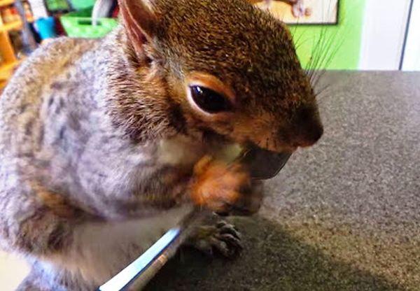 scoiattolo usa una forchetta