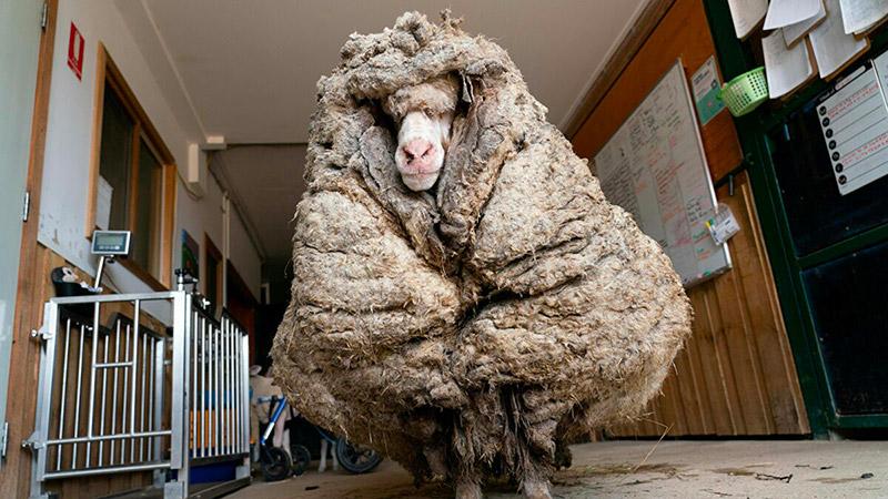 Baarack la pecora con 35 chili di lana addosso