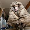 Baarack, in Australia la pecora con 35 chili di lana addosso