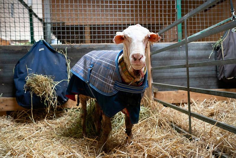 Baarack la pecora con 35 chili di lana addosso, dopo essere stata tosata